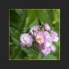 CA Rosen klein für webseite