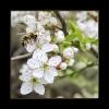 Kirschenblüte mit Biene