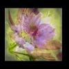 Kosmea Stmk Blume