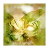 Magnolie aufgeblüht