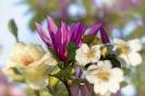 Magnolie mit Rosen