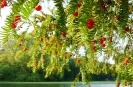 Frucht der Eibe