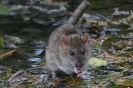 Ratte 3 kl